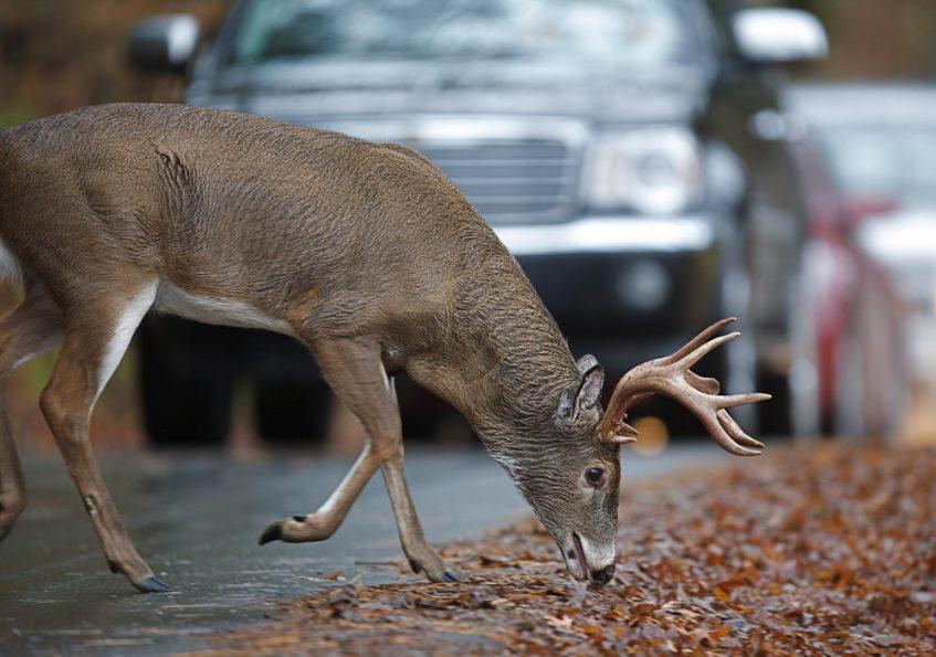 Colisión con animales de caza